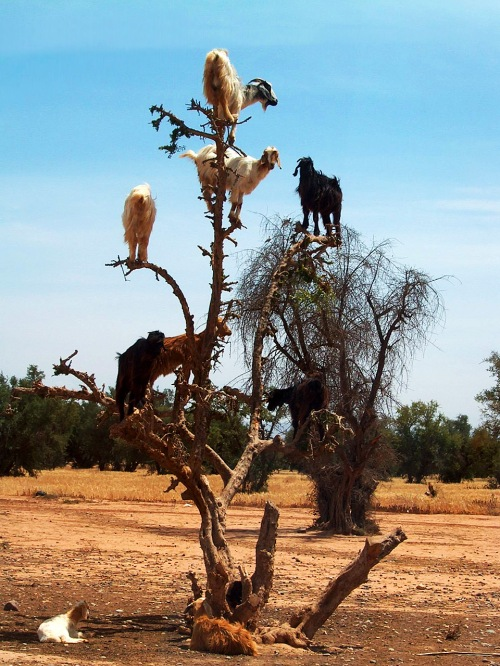 These goats are real. Photo Credit: stereotyp-0815 via Compfight cc