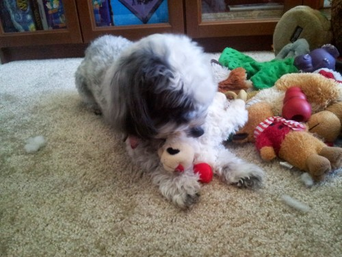 Nala quickly decamped with Lamb Chop to her Pile O' Toys.